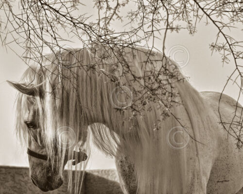 HORSE ART PRINT Shameless by Barry Hart Wildlife White Mane Cowboy Poster 11x14