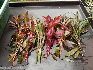 6 touffes de  plantes rouge  pour aquarium filtre lot nano bac made in france