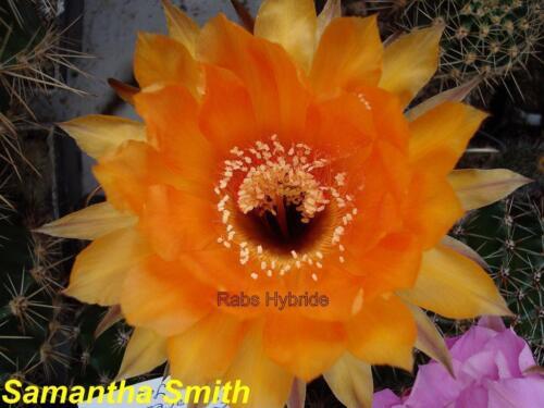 Samantha Smith Echinopsis Schick híbridas #067 talla 2 cm y más