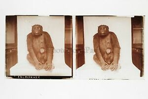 Museo Histoire Naturale Chimpaze Parigi Placca Stereo Vintage Positivo 6x13cm