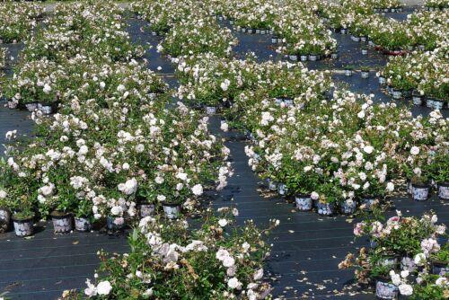 10x Rosa Sea Foam wunderschöne weisse Bodendecker Rose Rosen öfter blühend 20//30
