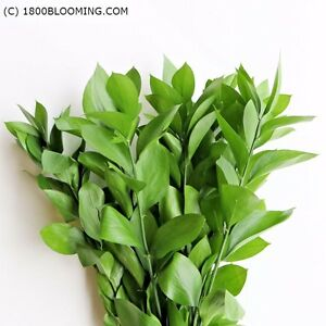 Image Is Loading Farm Fresh Cut Greens Foliage Israeli Ruscus Bulk