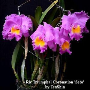 Rlc-Triumphal-Coronation-039-Seto-039-3-1-4-039-039-Pot-T658