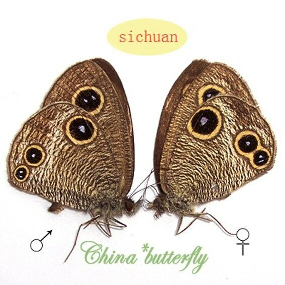 PAIR unmounted butterfly Satyridae Ypthima perfecta #06  male A1- female A1-