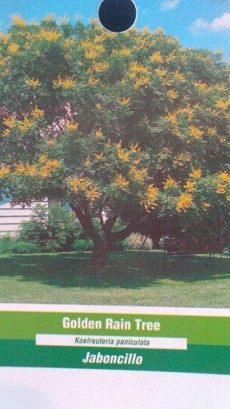 4' -5' árbol de lluvia de oro en vivo floración sombra árboles enviados a los 50 Estados de Estados Unidos