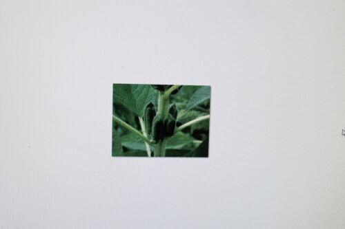 anciens sesanum indicum 15 graines de sésame tropicale légume #250