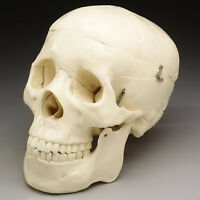 Life-size Human Bucky Skull Model 2nd Quality,