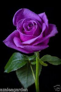 Rare Lavender Rose  Purple color Grafted Live Plant - 1 Healthy Live Plant