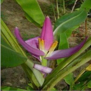Musa-violacea-pinke-Banane-unbekannter-Ursprung-neue-Kreuzung-5-Samen-5-seeds