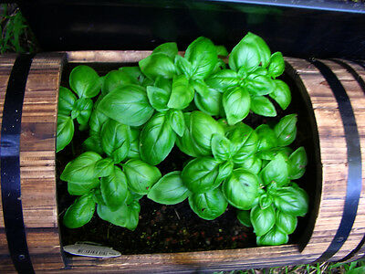 1500 SWEET BASIL Ocimum Basilicum Herb White Flower Seeds *Comb S/H + Free Gift