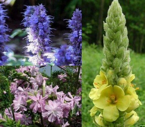 Schmetterlingslakritze verzaubern den Garten Set Seifenblume Königskerze