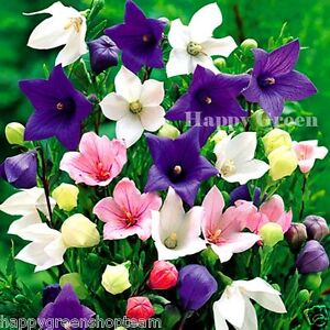 BALLOON-FLOWER-MIX-200-seeds-bellflower-Platycodon-PERENNIAL-ALPINES