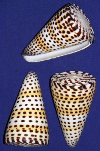 Polished-Lettered-Cone-Conus-litteratus-Shell-3-034-Seashell-Craft-Supply-1-3-Pcs