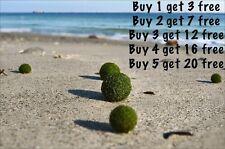 WOW Marimo Moss Balls 0.25inch (0,6cm) Cladophora Live Plant Aquarium in USA