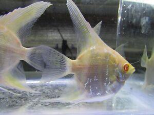 Pack Of 3 Albino Dantum Angelfish 2 5 Live Aquarium Tropical Fish Ebay
