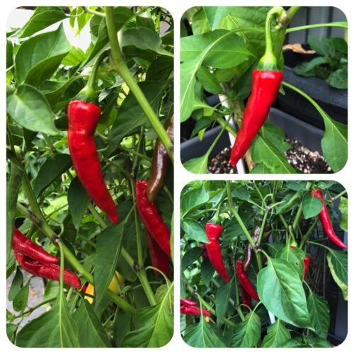 Thai Denchai rote Chili mittelscharfe Chilli aus Thailand Gewürz für Asia-Küche