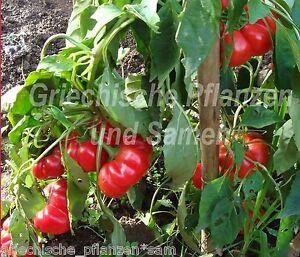 Szuszanna-Apfel-Paprika-Ungarn-Rekordernte-10-Samen