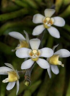 Chiloschista Usneoides Fs Leafless Orchid Mounted Fragrant Cascading Flowers Ebay
