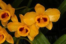 Orchid plants Dendrobium Chrysantum species