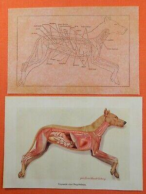 Eingeweide Doggenhündin Anatomie Dogge Hund Farbdruck Und Deckblatt 1910 FöRderung Der Produktion Von KöRperflüSsigkeit Und Speichel