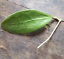 Hoya-young-house-plant-or-unrooted-cutting miniatuur 11