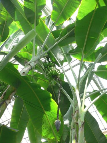 10 Samen Wildbanane Musa acuminata var acuminata
