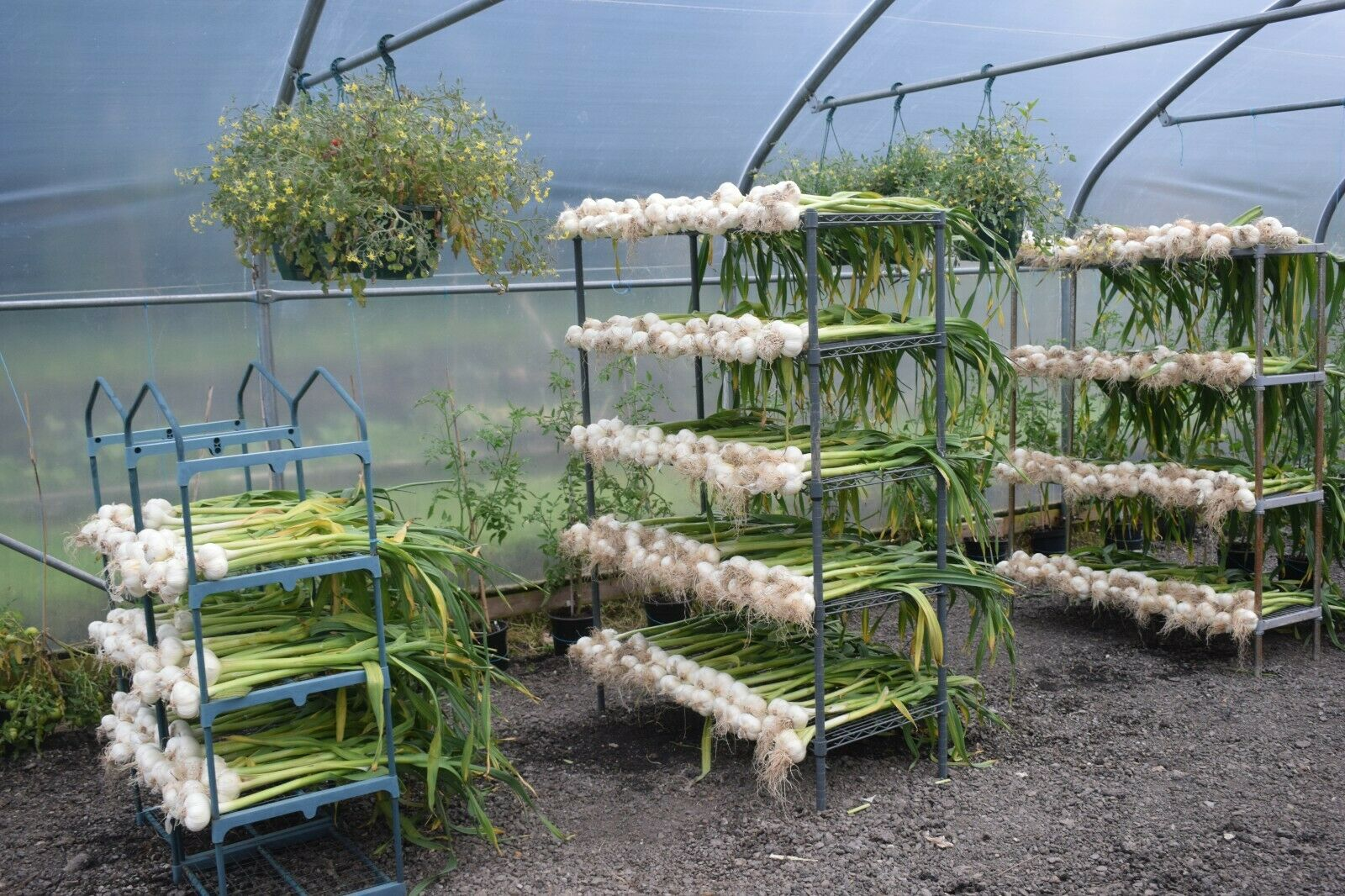 12 GIANT ELEPHANT GARLIC CORMS GROWN IN WALES ORGANIC FRESH PICKED BY HAND