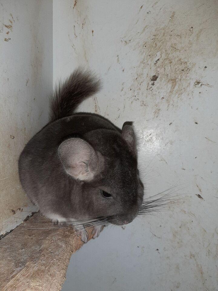 Chinchilla, 1 år