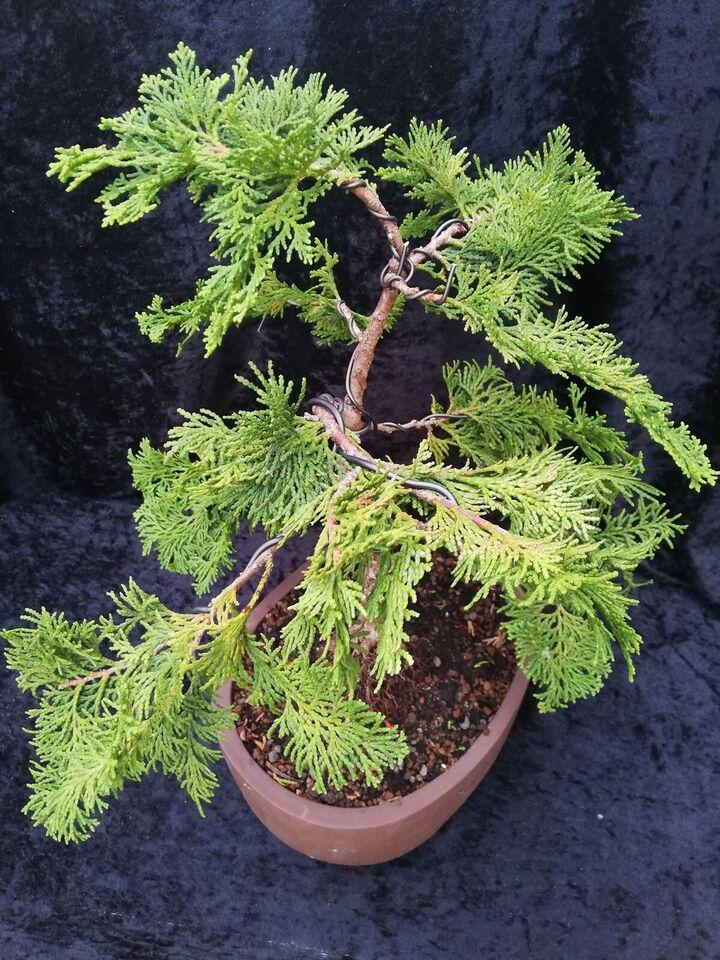 Bonsai træ Cypress