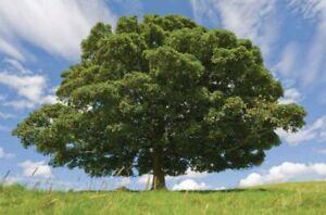 20pcs-Beech-Fagus-Sylvatica-Tree-Seeds-Mixed-Perennial-Bonsai-Plant-Grove-Garden