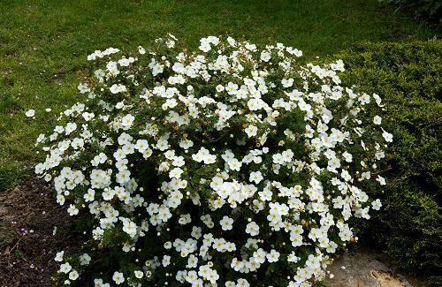 3x Potentilla Abbotswood Plants White free flowering Hardy Garden Shrub