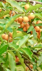 Lemon-Drop-Mangosteen-Fruit-Tree-Garcinia-Mameyito-1-3-Tall-Fruit-Soon