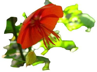 Pentapetes phoenicea,hibiskus ähnliche selten angeboten 10 Samen 10 seeds