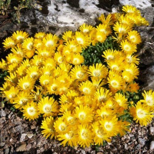 15 Delosperma congestum alba Winterharte gelbe Mittagsblume 012A0124