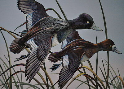 Ring-necked Duck Acrylic Print 11 x 14 by Doug Walpus Birds Wall Decor