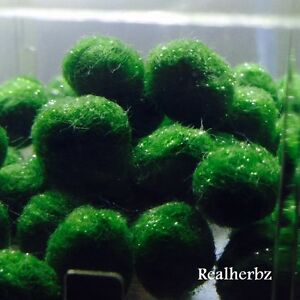 25 X Marimo Moss Balls Live Aquarium Cladophora Plante Aquarium Crevettes (5-7 Mm)-afficher Le Titre D'origine Suppression De L'Obstruction