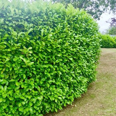 5 Cherry Laurel Evergreen Hedging Plants 2 2 5ft Mature Bushy