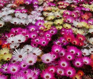 ICE-PLANT-MIX-Dorotheanthus-Bellidiformis-5-000-Bulk-Seeds