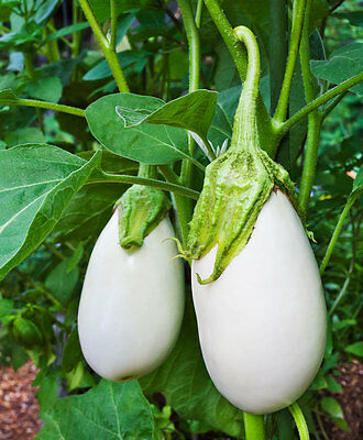 30pcs Ethiopia Eggplant Seeds Solanum Packaging Melons Seed