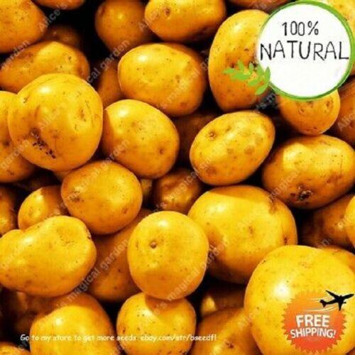 199 pcs Seeds Rare HIGH QUALITY HIGH NUTRITION POTATO  Home Garden none OMG
