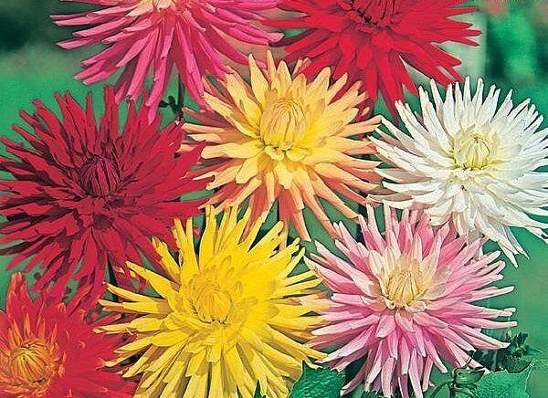 FLOWER DAHLIA CACTUS HYBRIDS MIXED  170 FINEST SEEDS