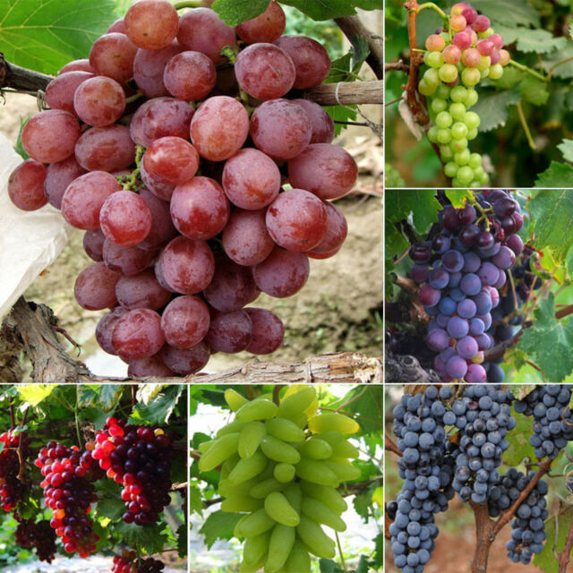 50mixed grape seeds home gardens vitis vinifera delicious fruit plant seedCWIC
