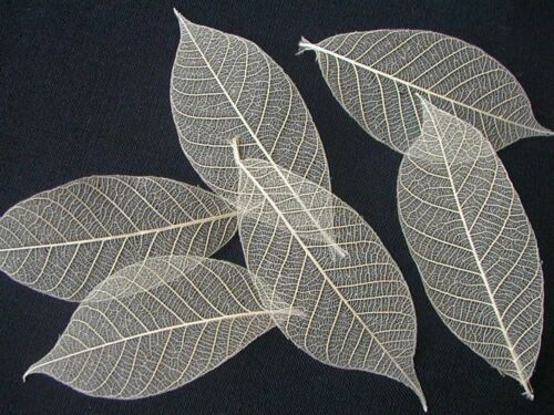 50 Natural skeleton leaves 2-3inches NOT BRITTLE Craft Card Wedding Art