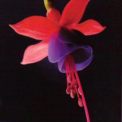 Fuchsia Anniversaire//Voeux//toute occasion Carte