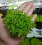 Micranthemum-Monte-Carlo-Potted-Carpet-Compact-Freshwater-Live-Aquarium-Plant thumbnail 1