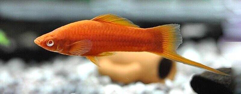 10 (DIECI) x WIEN xiphophorus (xiphophorus hellerii, livebearer)