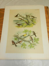 1878 Antique STUDER COLOR BIRD Print/VARIOUS TYPES SPARROWS & FINCHES, RED-POLL