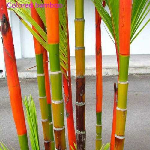 100 stücke Phyllostachys Pubescens Moso Bambus Samen Gartenpflanzen Decor
