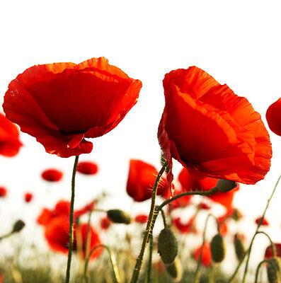 Corn Poppy Seeds 100 Seeds Papaver Rhoeas Flower Garden Seeds Hot A063 For Gift