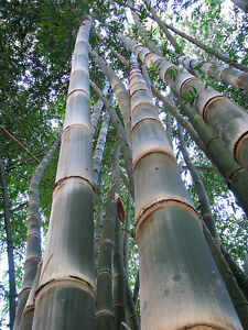 Dendrocalamus-asper-Giant-bamboo-Extremely-Rare-10-Fresh-seeds-Fast-grower
